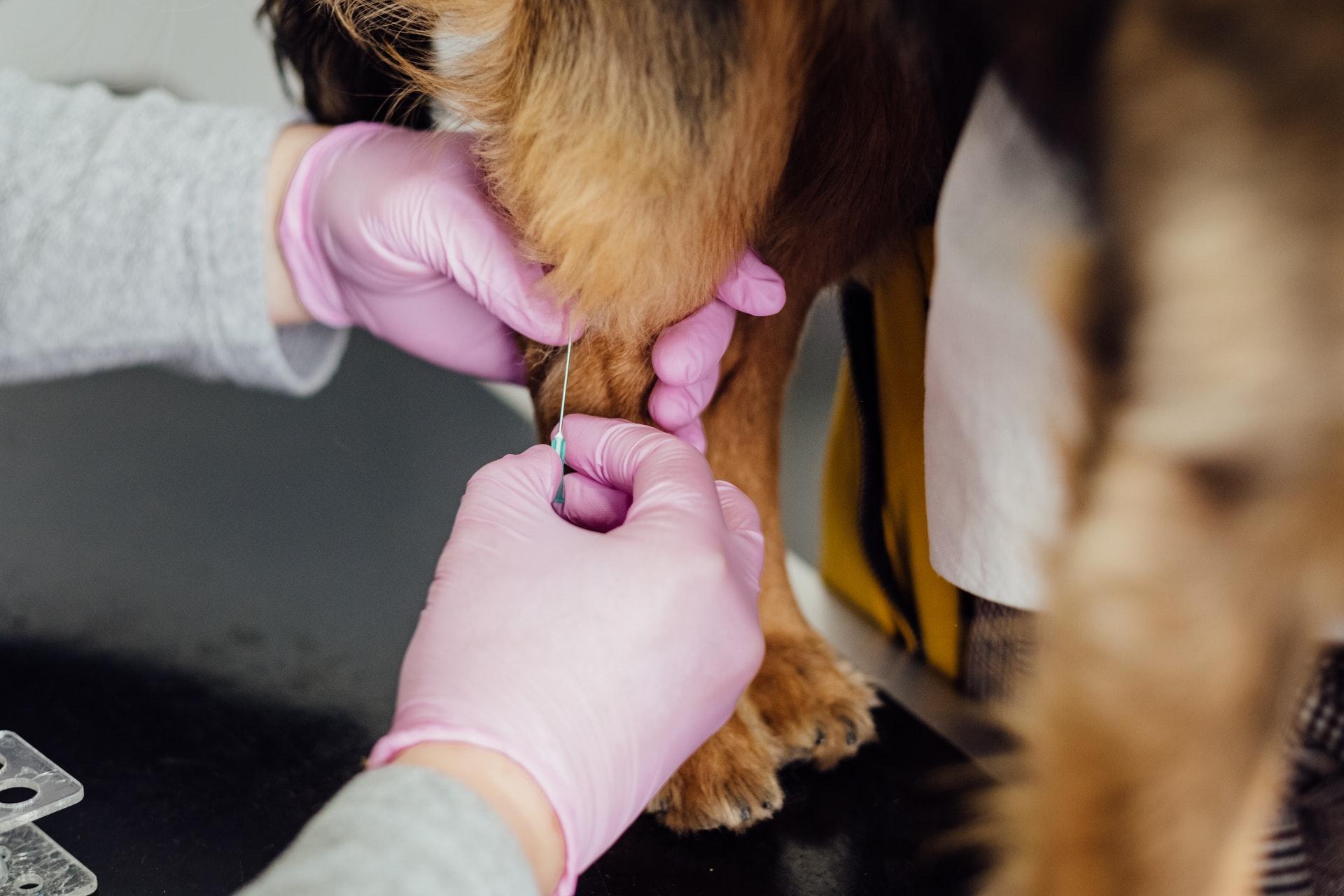 perro vacuna